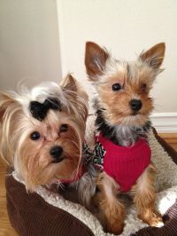 Yorkie Puppy Sweaters
