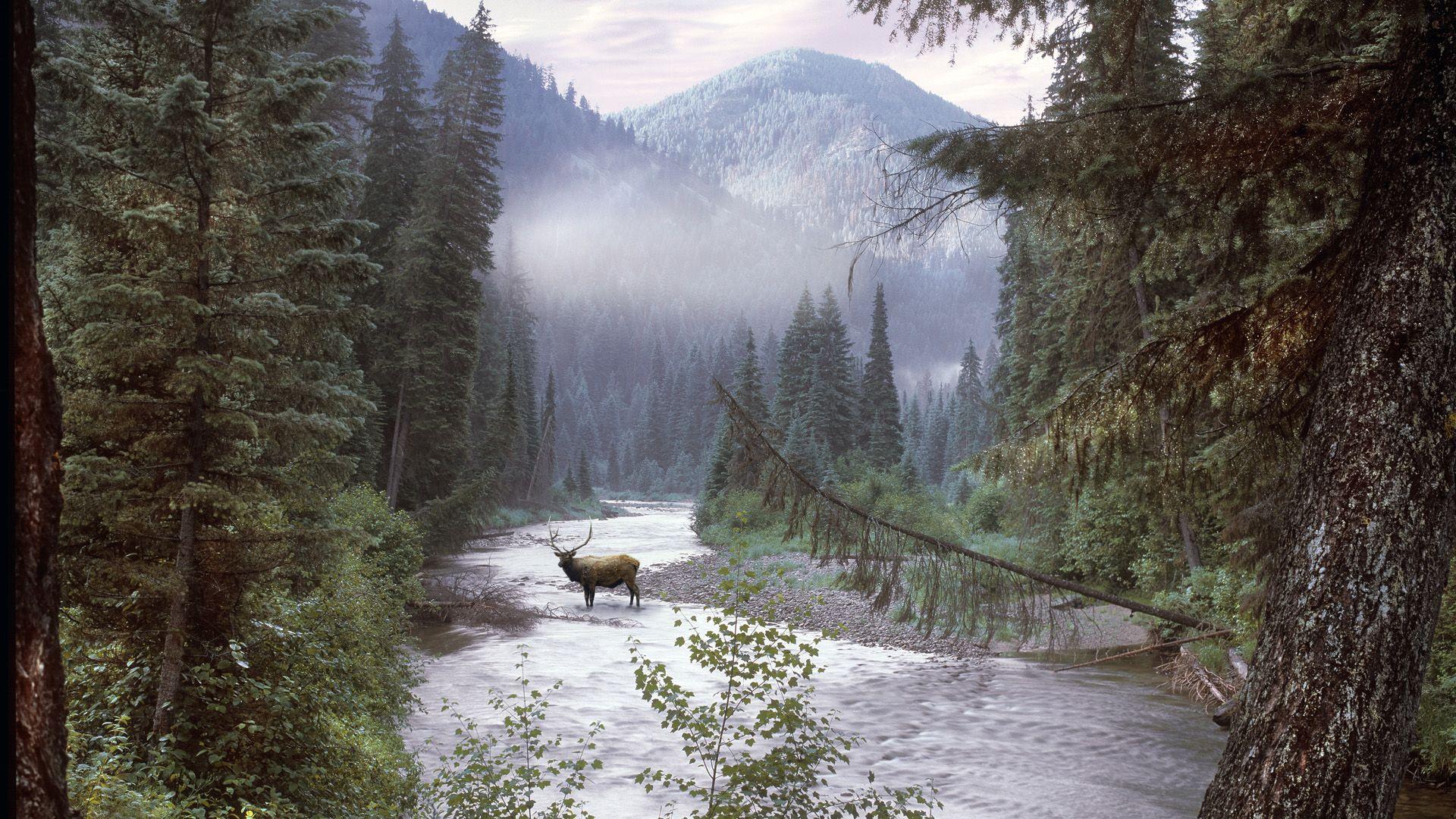 Free Fall Bc Nature Wallpaper Elk Selway Bitterroot Wilderness Idaho Animal Planet