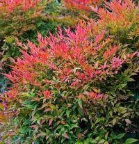 Gulf Stream Nandina domestica Heavenly Bamboo plants ( 1.5