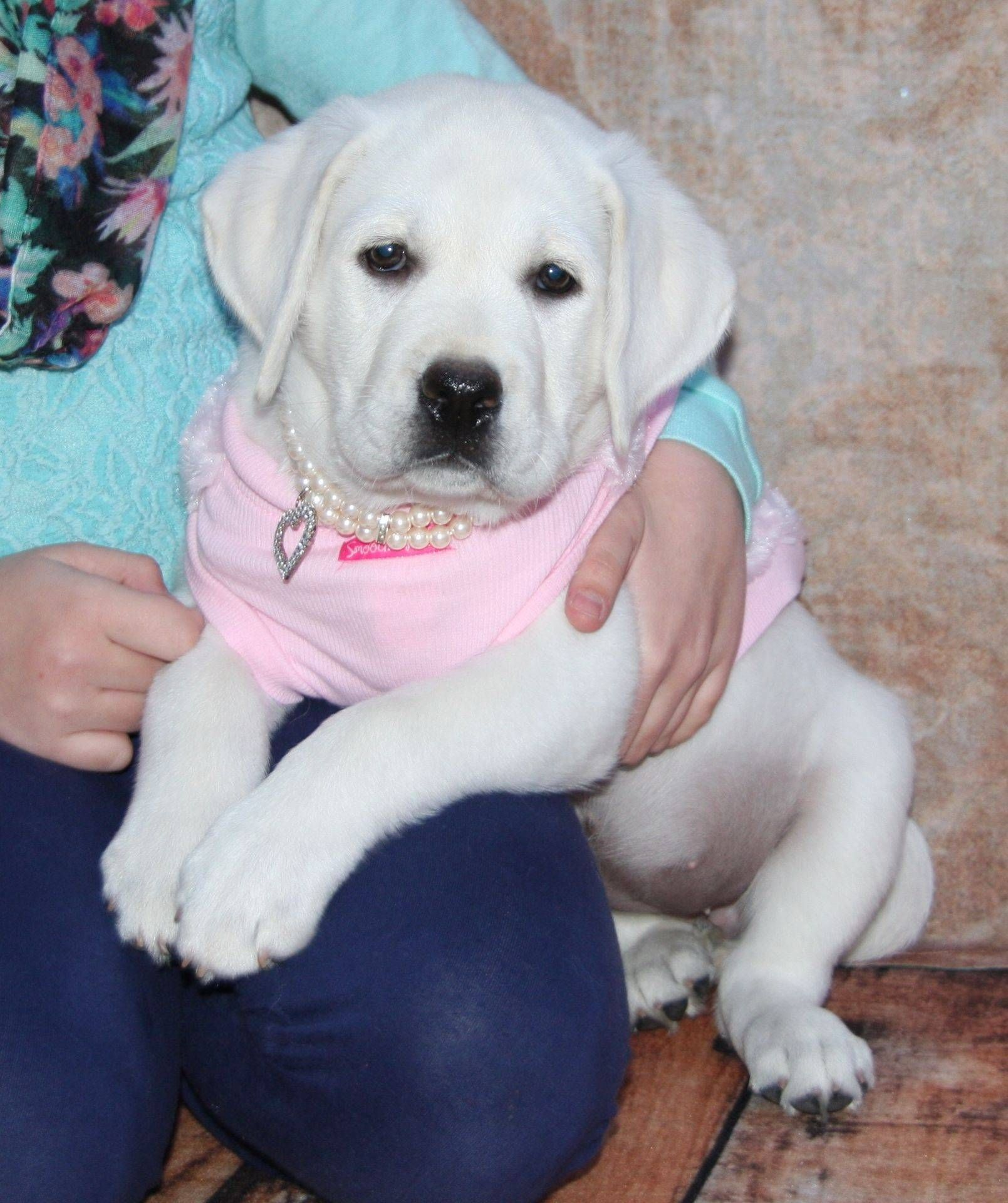 English Yellow Lab Puppies For Sale White Labrador Puppy And Puppies For Sale Buy A White Lab
