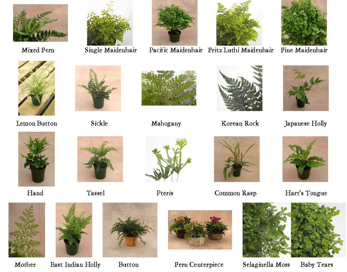 Indoor Plant Types Types Of Ferns 1 10 From 50 Votes 5 54 Picture Pl