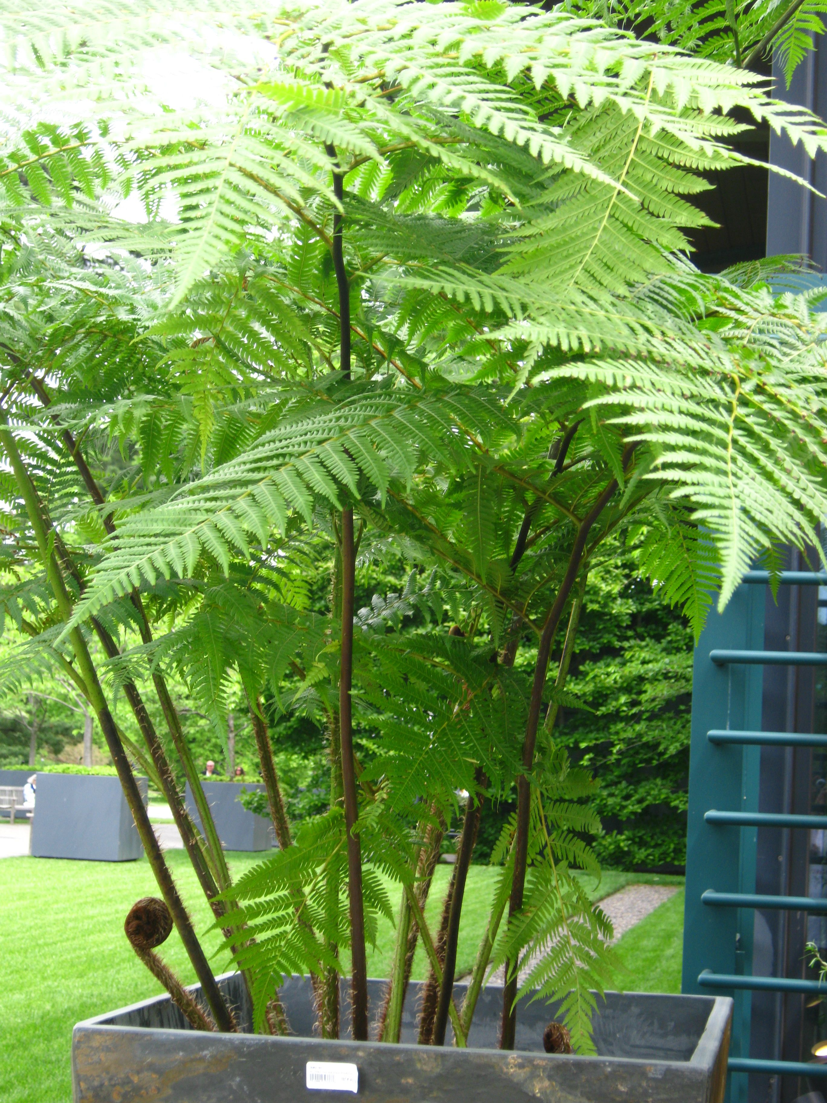 Large Indoor House Plants For Sale Best 25 43 Australian Tree Fern Ideas On Pinterest Tree