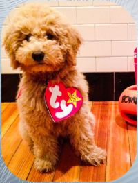 Ty Beanie Baby Halloween Costume for puppy