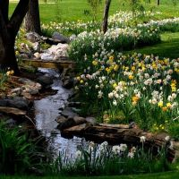 Naturalized daffodils, wandering stream. | Koi Ponds ...