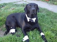 Dapper Bobber, all ready for Halloween. Black lab. | Black ...