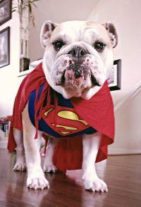 Superdog! - English Bulldog in a Superman costume ... Love ...