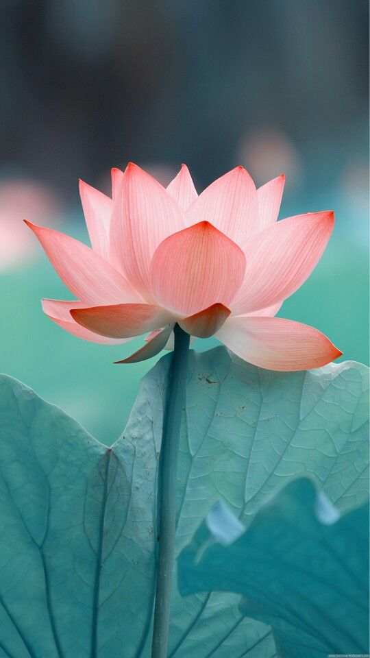 Pinterest Desktop Wallpaper Lotus Quote No Mud No Lotus Perspective Pinterest Lotus