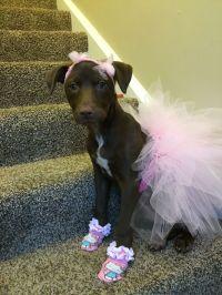 Dog costume. Pink ballerina tutu & bows. Pitbulls in tutus ...