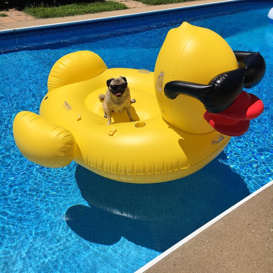 Flotadores Para Piscinas I 39m A Sucker For A Cool Pool Floatie Doug The Pug Pugs