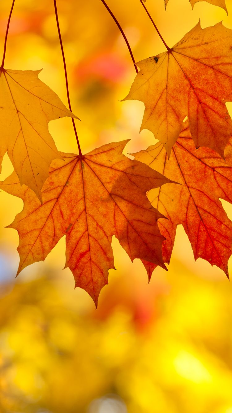 Free Fall Cell Phone Wallpapers Fall Leaves Iphone Background Wallpapers Gallery