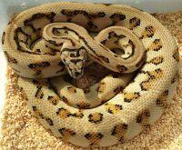 Caramel jaguar het axanthic carpet python | Snakes ...
