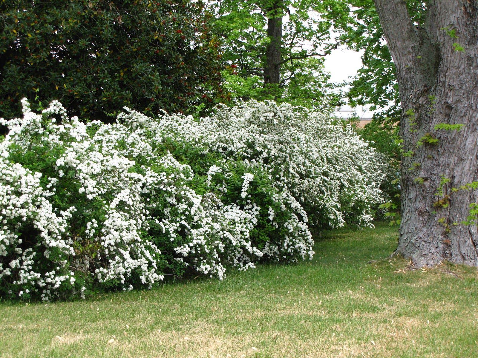 Fast growing flowering hedges flowering shrubs http www viewsfromthegarden com