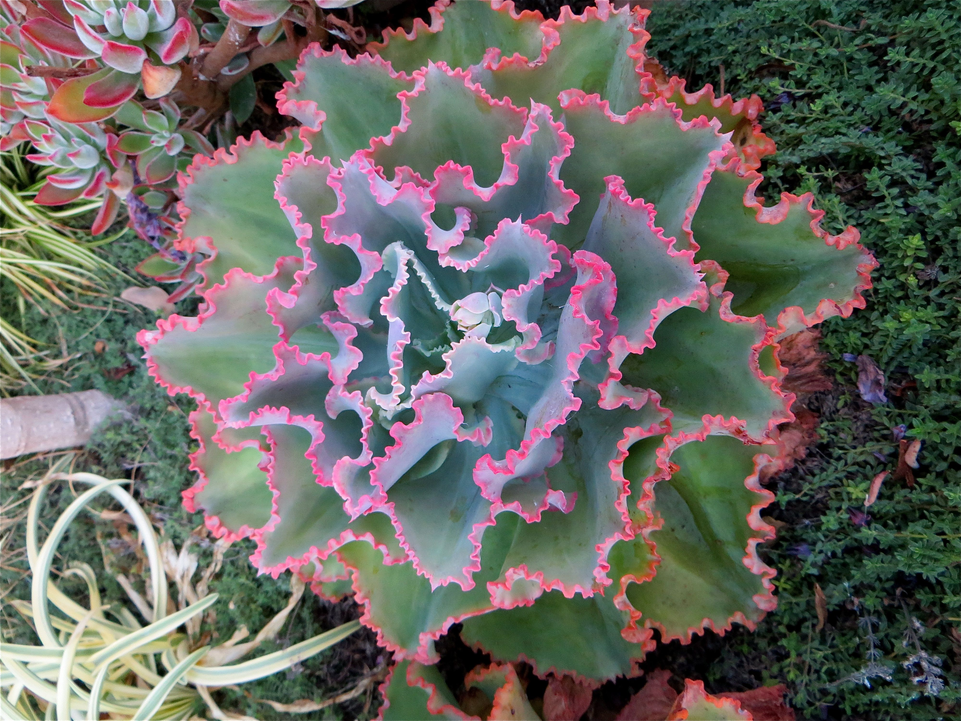 Small Succulent Plants For Sale Echeveria Quotblue Crinkles Quot Hens And Chicks Succulents This