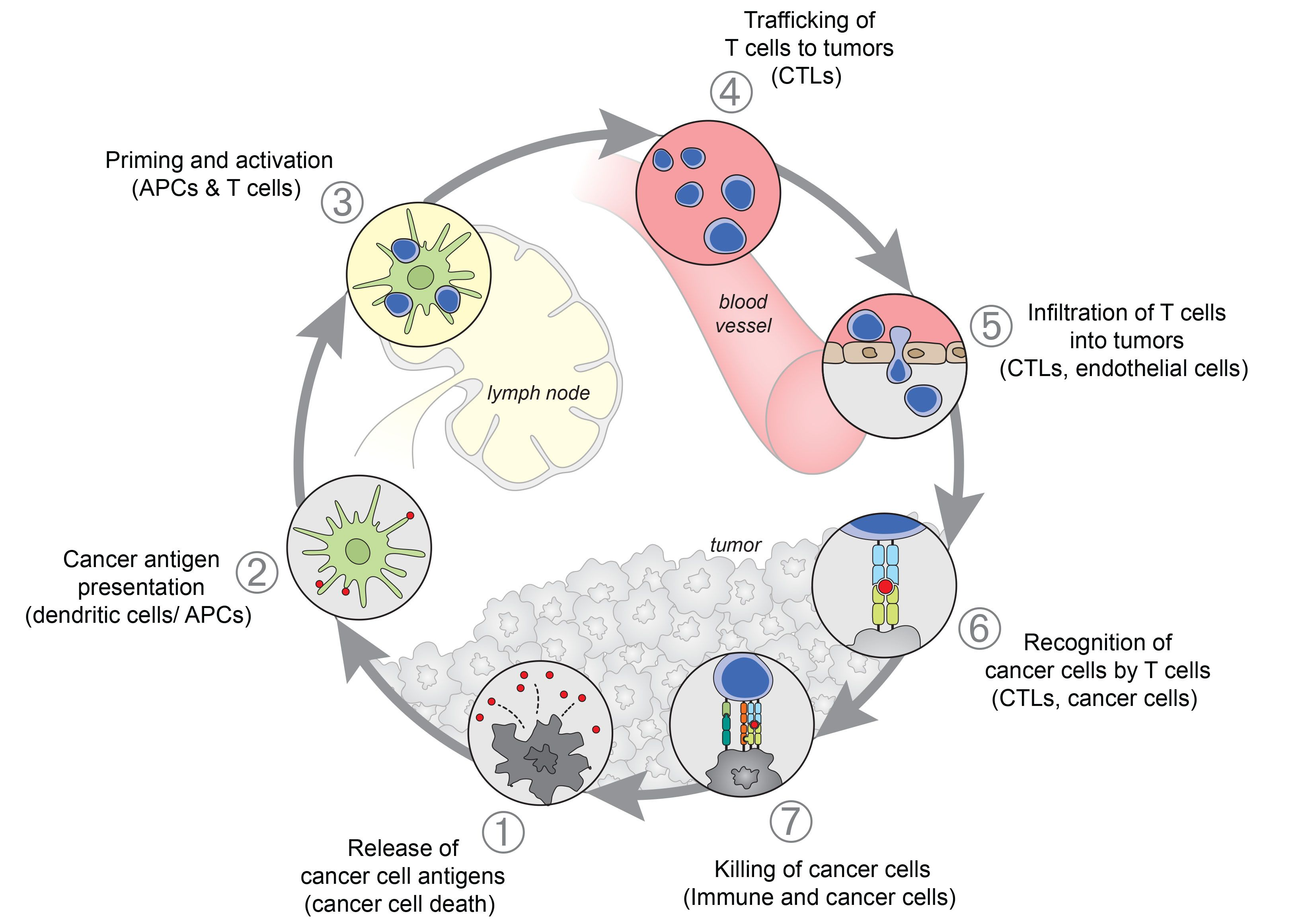Hhmi cells of the immune system answer key