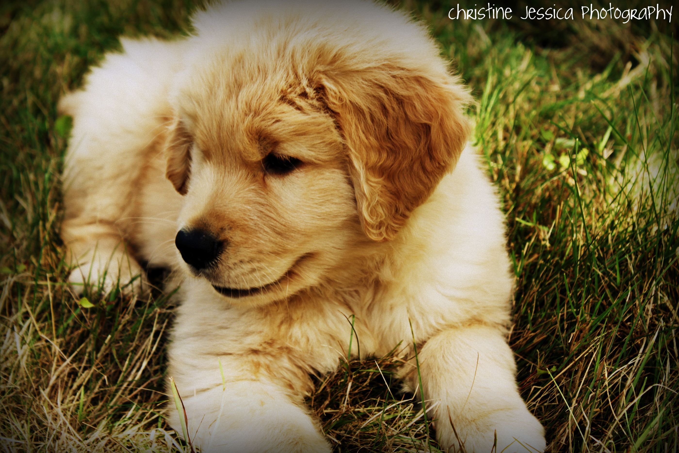 Libro Golden Retriever Cutie Golden Retriever Puppy Pkes Pinterest