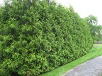 Arborvitae Green Giant Hedge | www.pixshark.com - Images ...