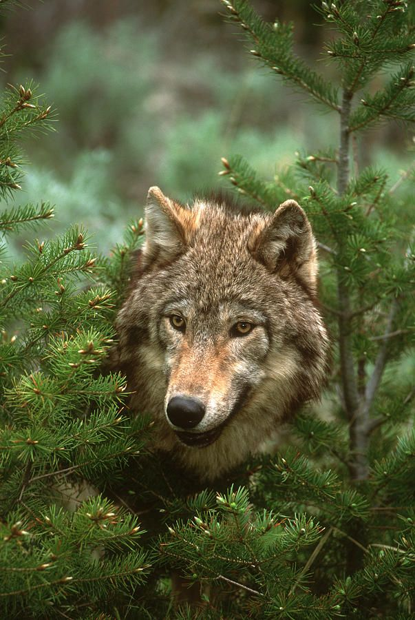 Awsome Cute Skull Wallpapers Beautiful Wildlife Timber Wolf North America Quot Of