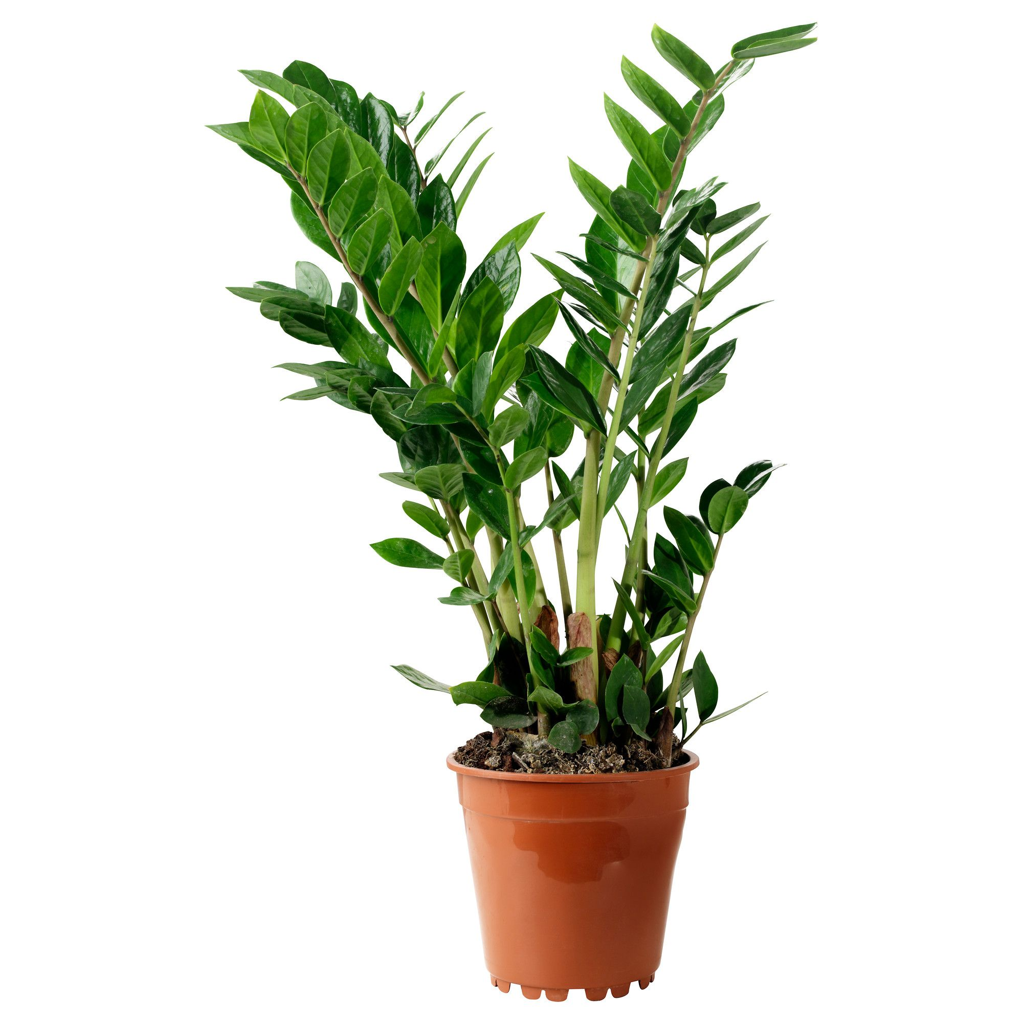 Ikea Planters Large Zamioculcas Potted Plant Aroid Palm 17 Cm Large Indoor