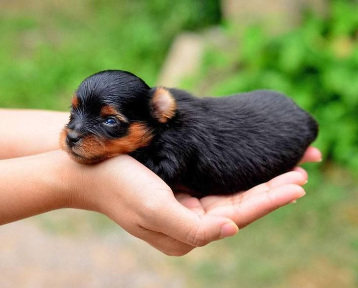 Newborn Baby Yorkies Yorkie Names Cute Male Female Yorkshire Terrier Names