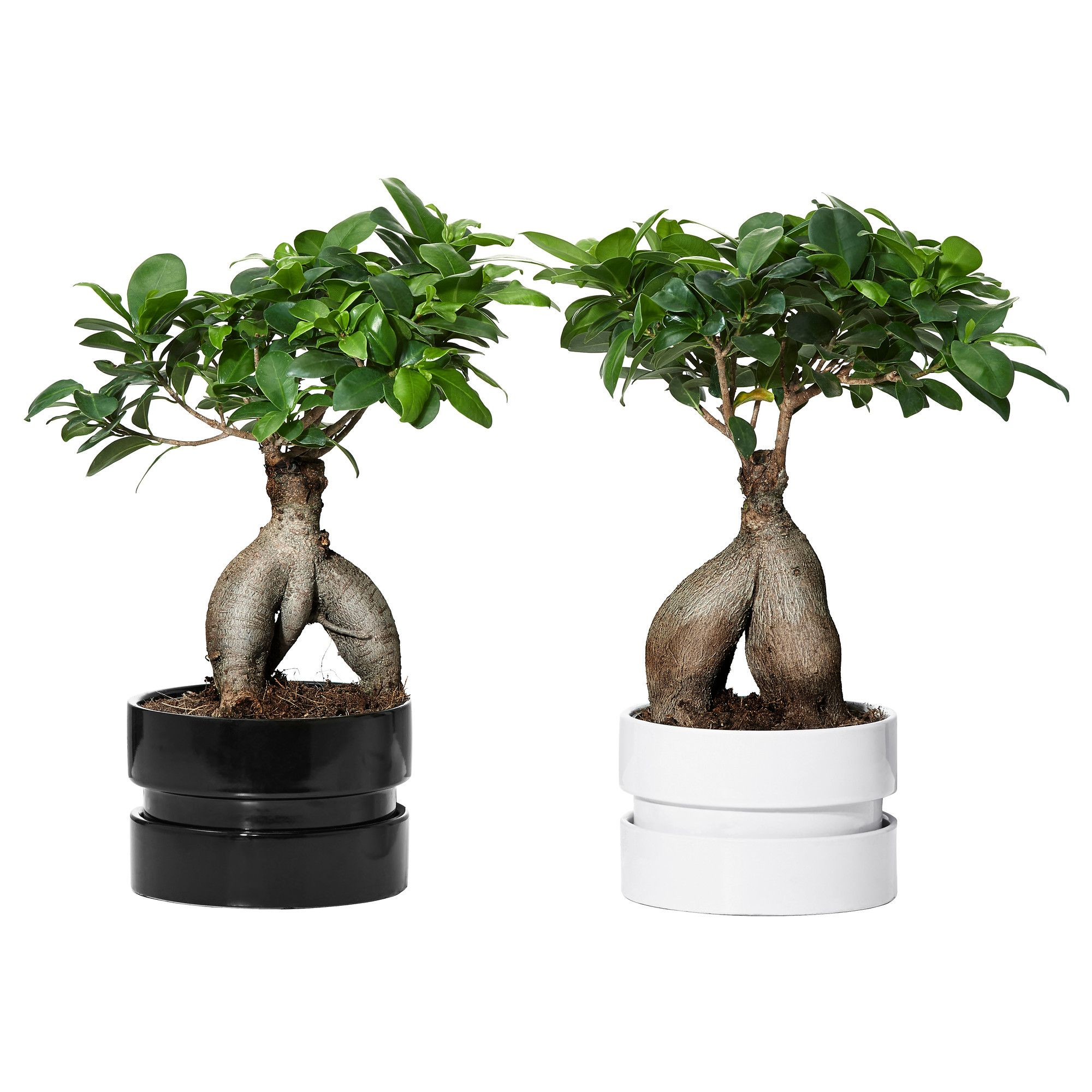 Ginseng Baum Ficus Microcarpa Ginseng Plant With Pot Bonsai Assorted