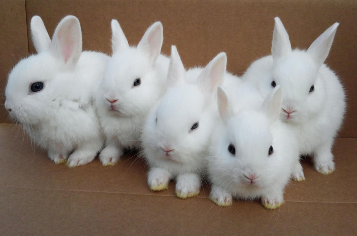 Cute White Baby Rabbits Wallpapers Baby Rabbits Google Search Easter Pinterest Rabbit