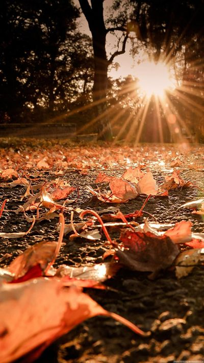 Nature iPhone 6 Plus Wallpapers - Autumn Leaves On The Ground Sunset iPhone 6 Plus HD Wallpaper ...