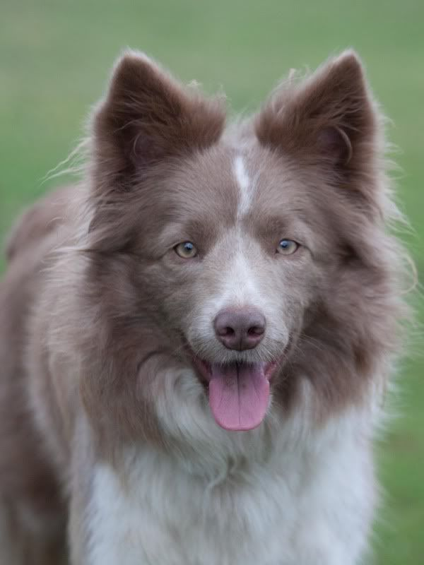 Lilac With White Markings Border Collie Border Collie Dogs\/Mixes Bordre .