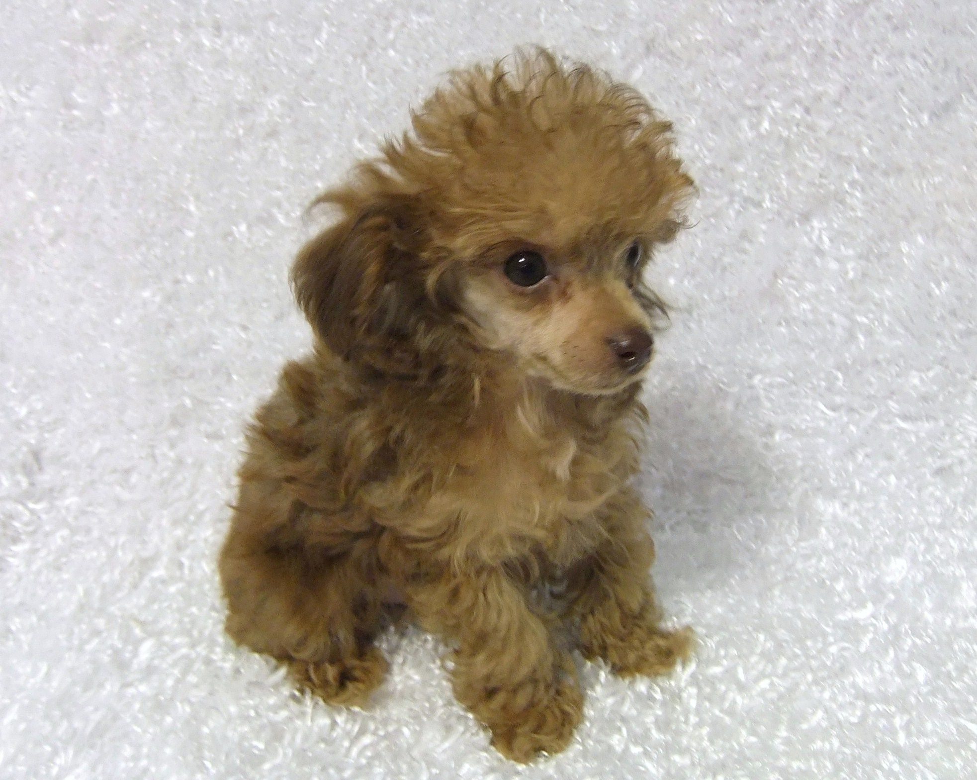 Teacup poodles teacup poodle puppies toy poodle puppies from myteacuppoodles com