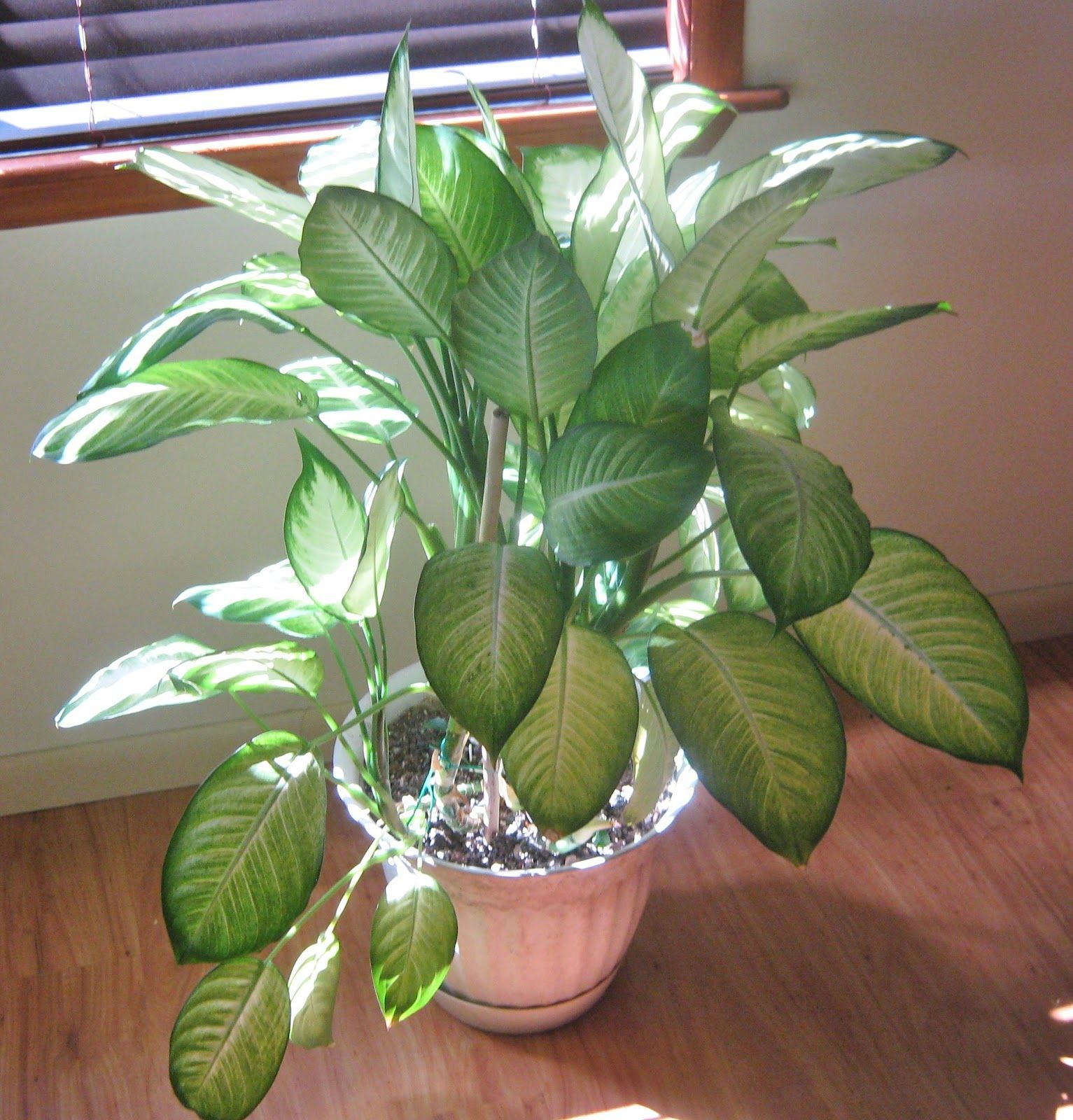Plant In House Dumb Cane Highly Toxic House Plant Indoor Jungle