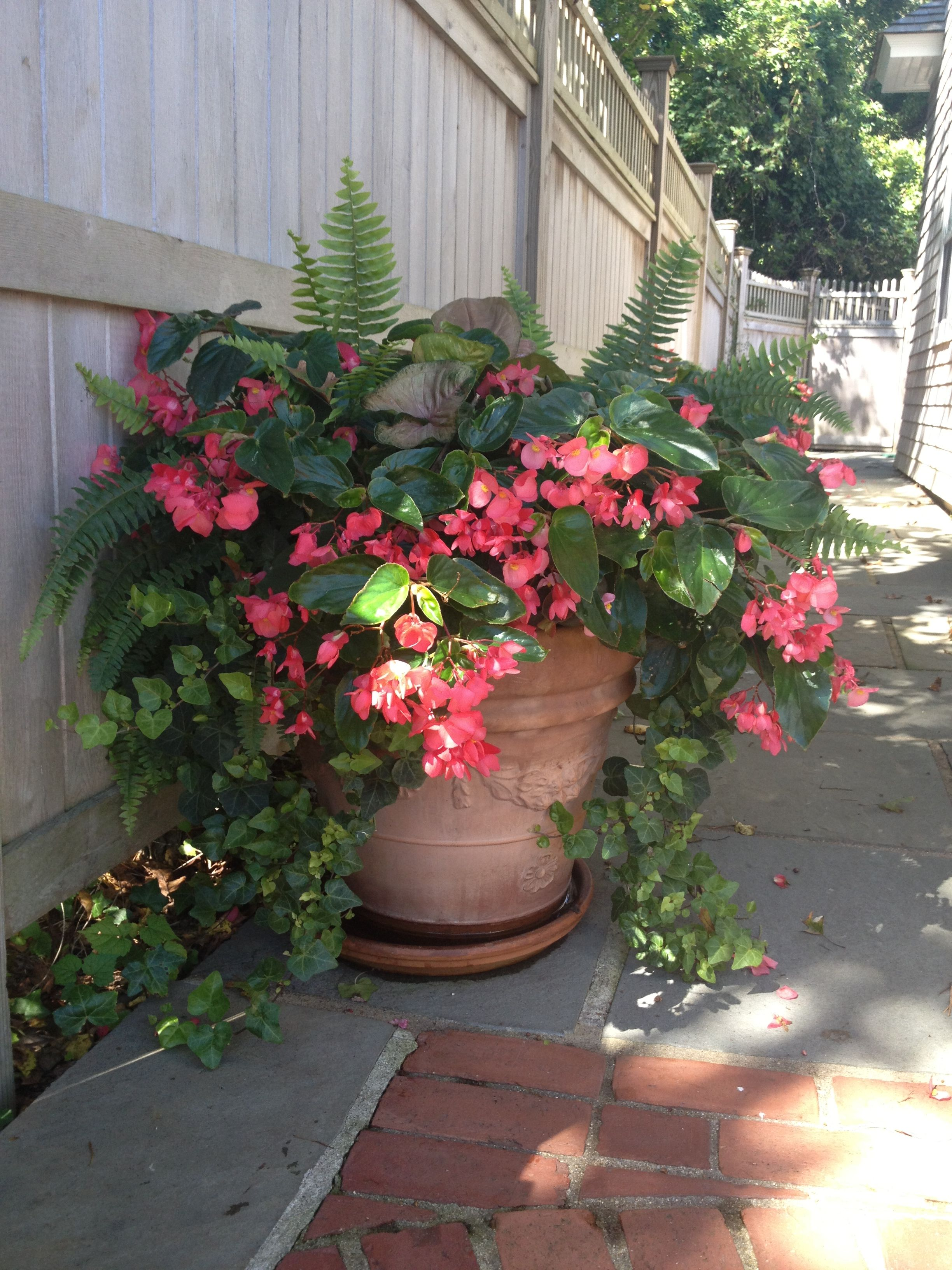 Big Pot Plants Dragon Wing Begonias With Shade Loving Companions By