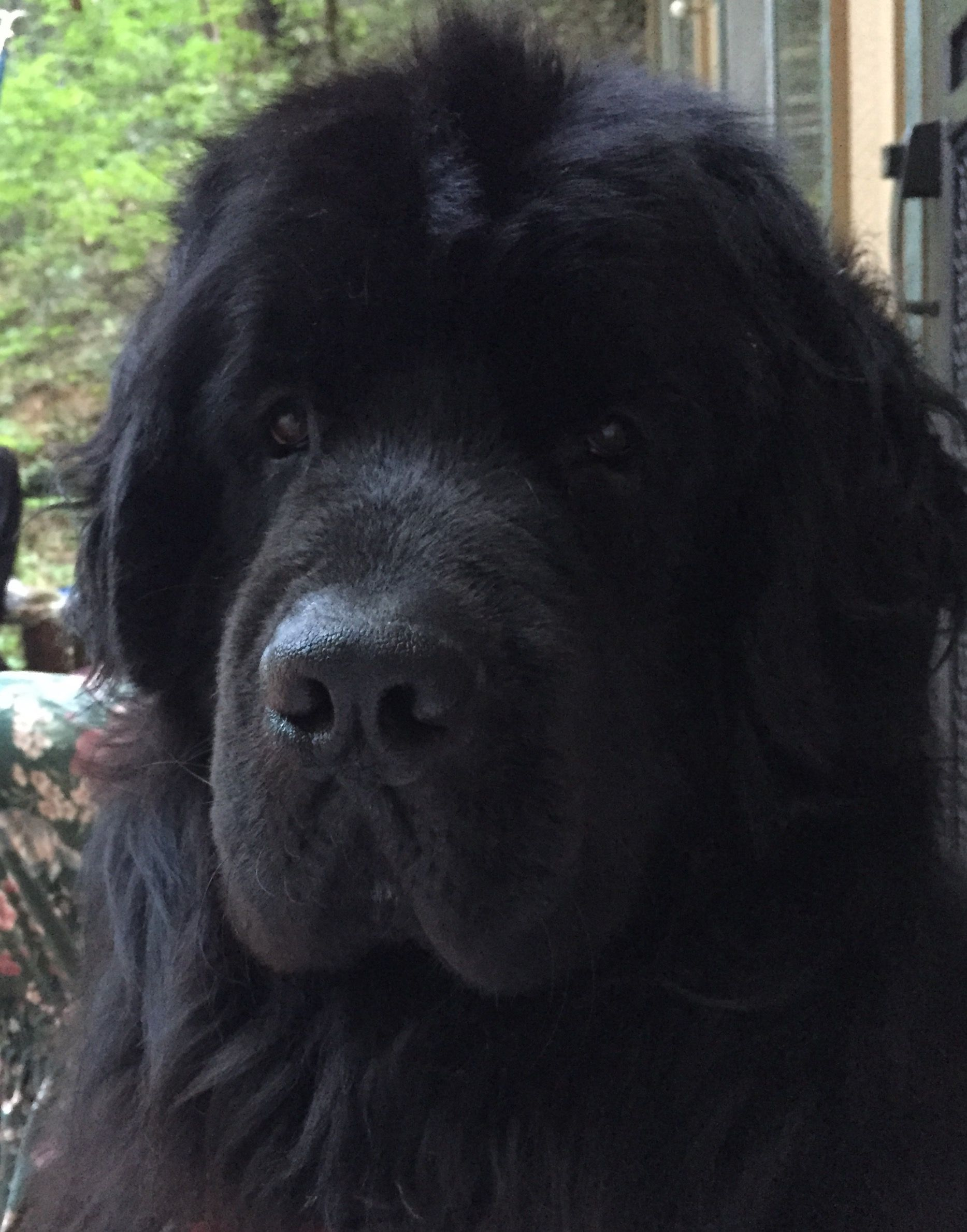 Fascinating Big Fluffy Big Dog Newfoundland Chow Friends Pin By Heidi Vanburen Gross On Pinterest Dog Fluffy Dog Breeds Uk Fluffy Dog Breeds That Dont Shed bark post Fluffy Dog Breeds
