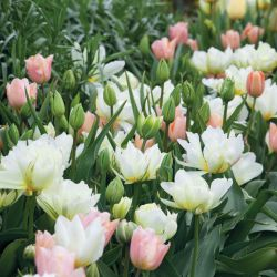 Apricot Beauty Tulip Collection Gardens Plants and Flowers