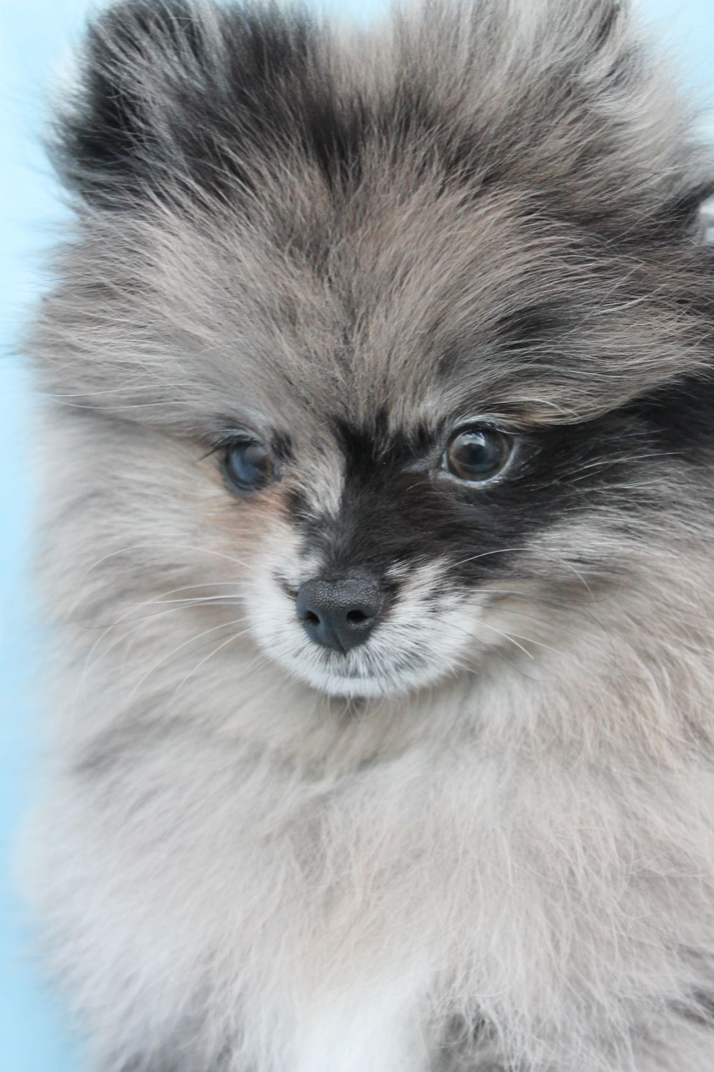 Cute Chicken Nugget Wallpaper Pomeranian Puppies And Teacup Pomeranians For Sale At