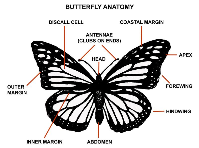 monarch caterpillar diagram