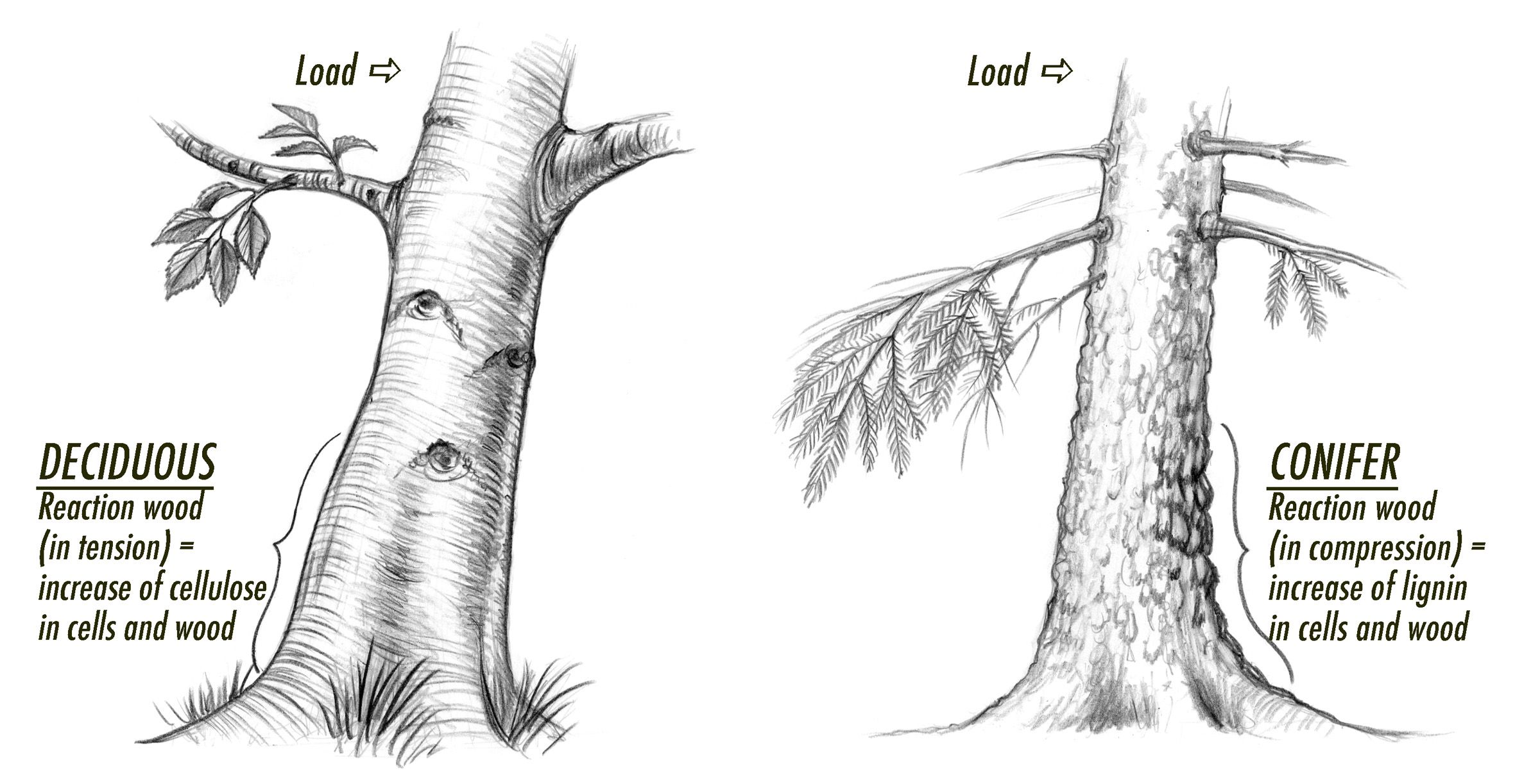 ficus bonsai tree wiring