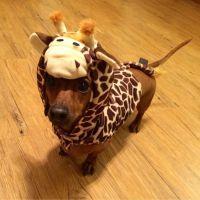 Wiener dog dressed as a giraffe, too cute!