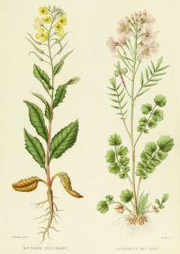 Mustard Cardamine French Antique Botanical Print   Flowers ...