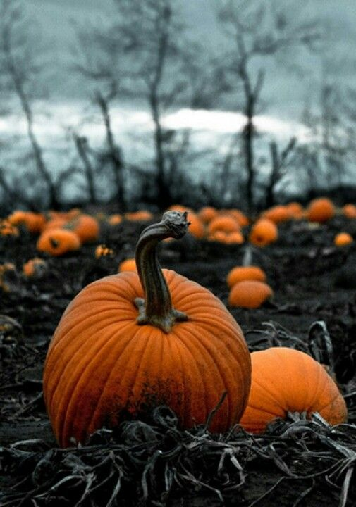 Fall Scenes Wallpaper With Pumpkins A Very Sincere Looking Pumpkin Patch Linus Take Note