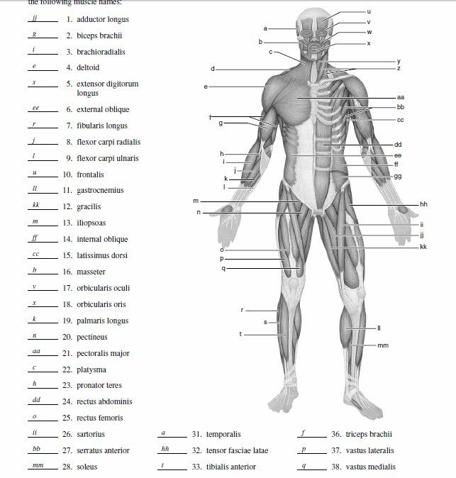abdominal muscle diagram blank