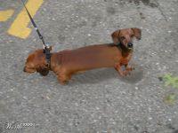 2 headed wiener dog - Dog Halloween Costumes   Dog ...