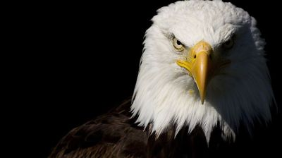 Eagle HD Wallpapers | HD Wallpapers | Pinterest | Eagle wallpaper and Wallpaper