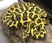 Jaguar Carpet Python Price | www.pixshark.com - Images ...