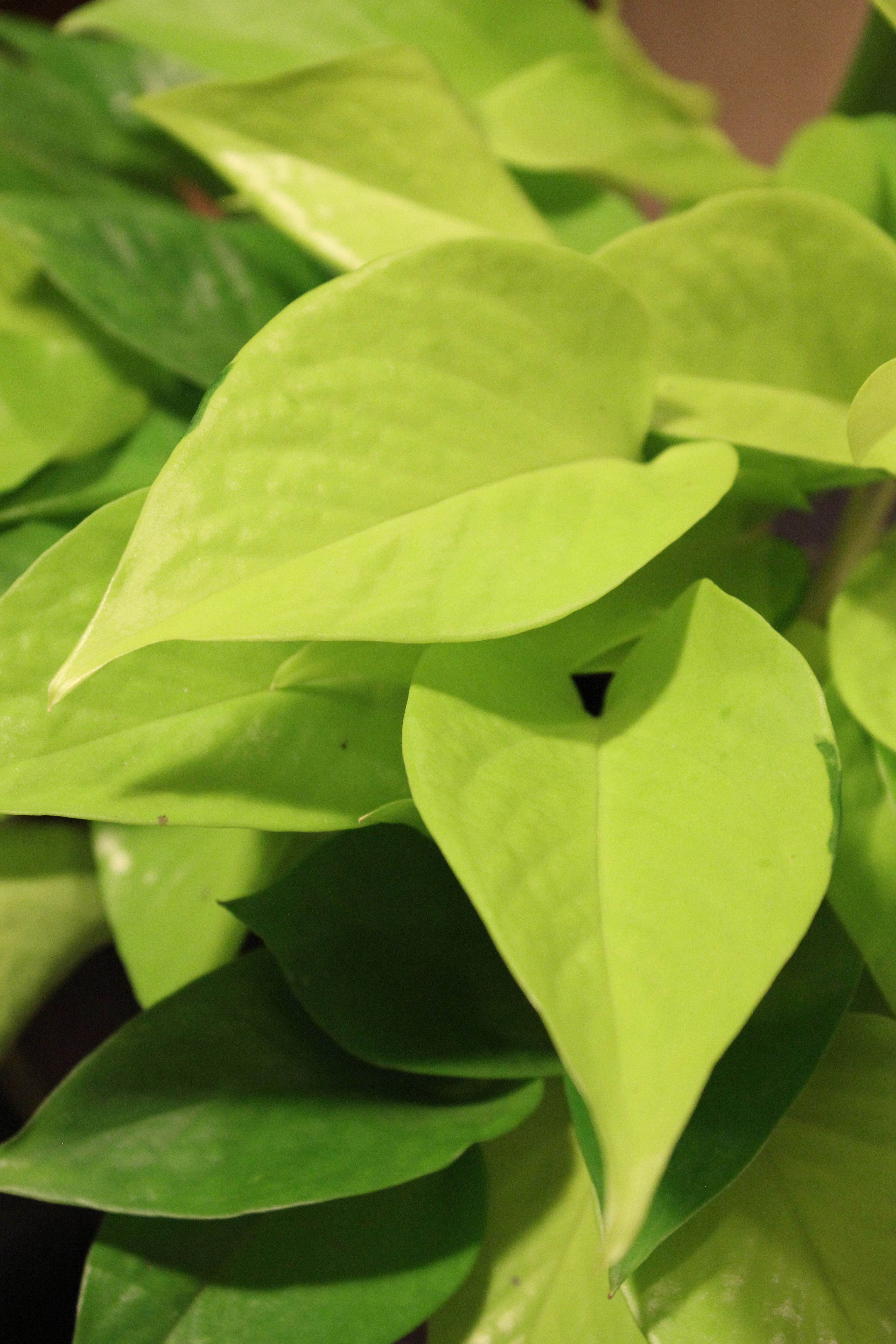 Large Leaf Houseplant Close Up Of Neon Pothos House Plant Plant Care For