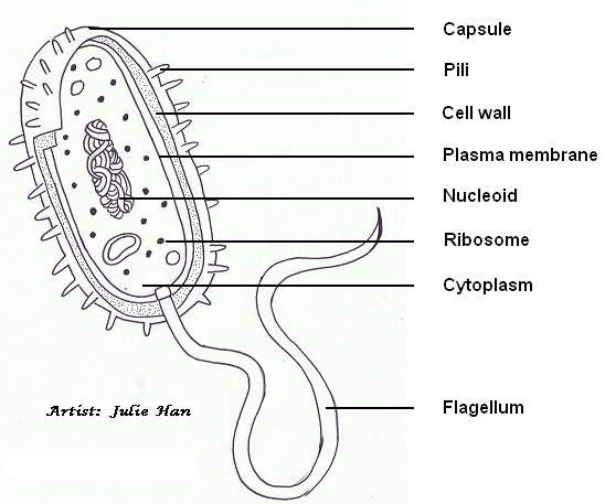 learning about prokaryotic cells diagram