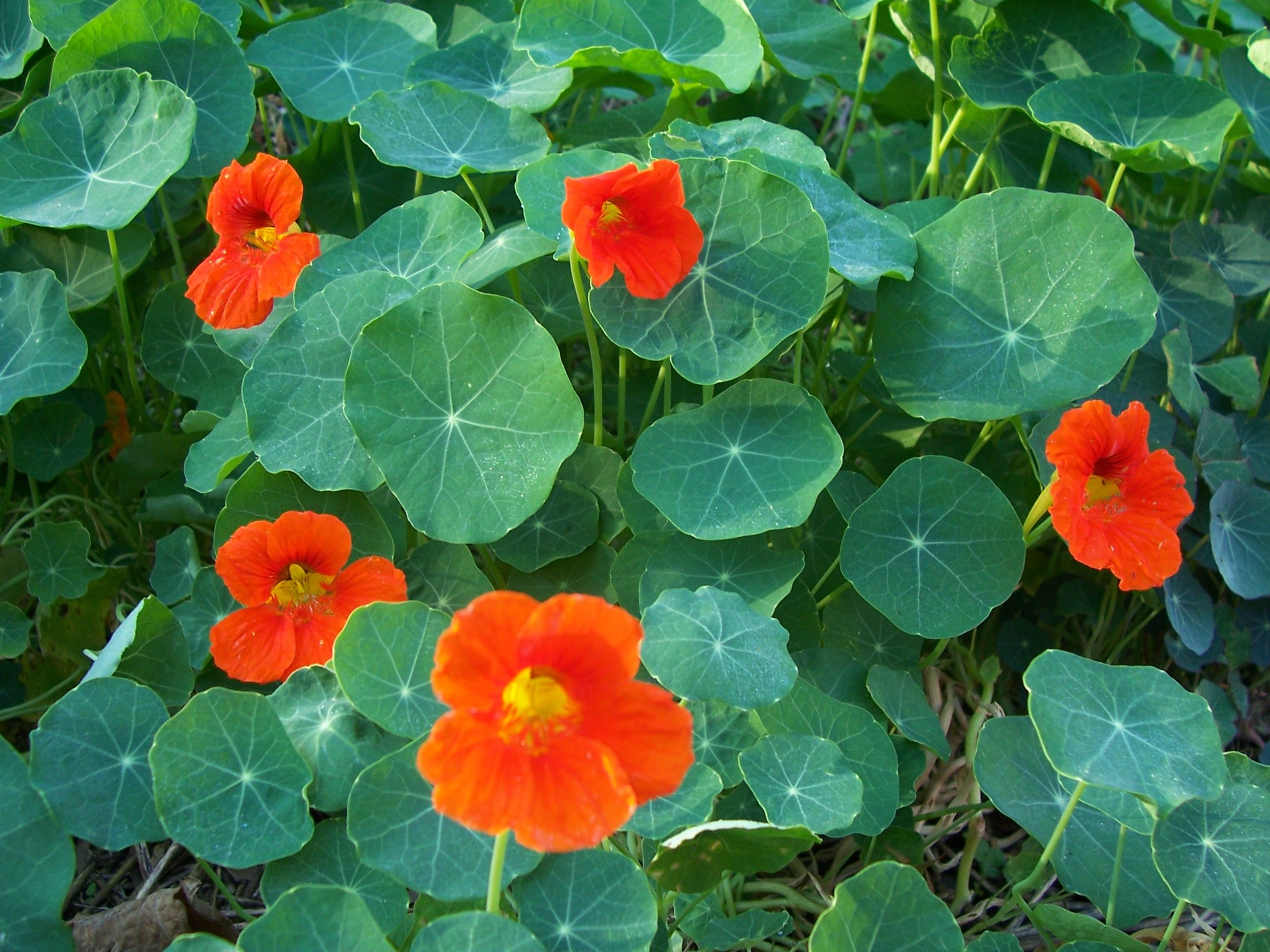 Nasturtium has edible tangy flowers and leaves