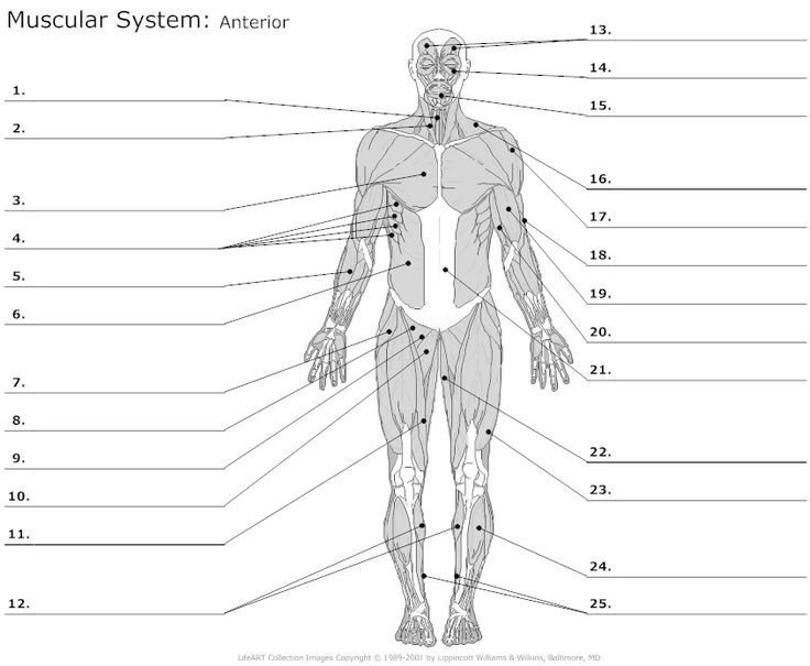 blank muscle diagram middle school students