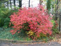Koreanspice Viburnum  Viburnum carlesii (Fall color ...