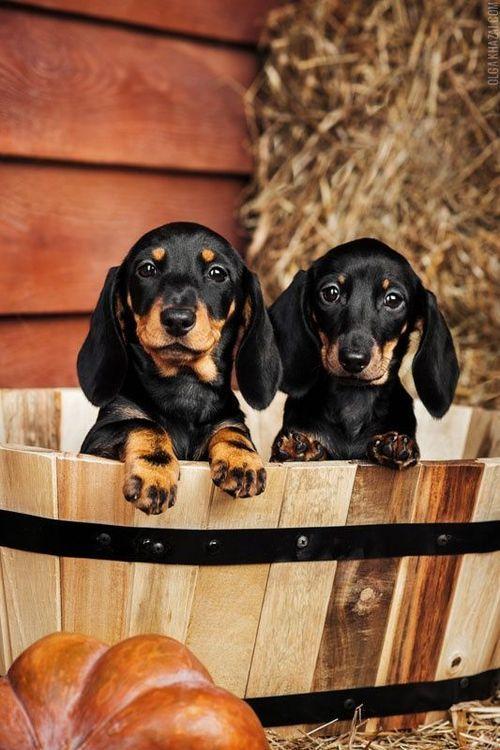 Fall Wallpaper Dog Weenie Best 25 Black And Tan Dachshund Ideas On Pinterest