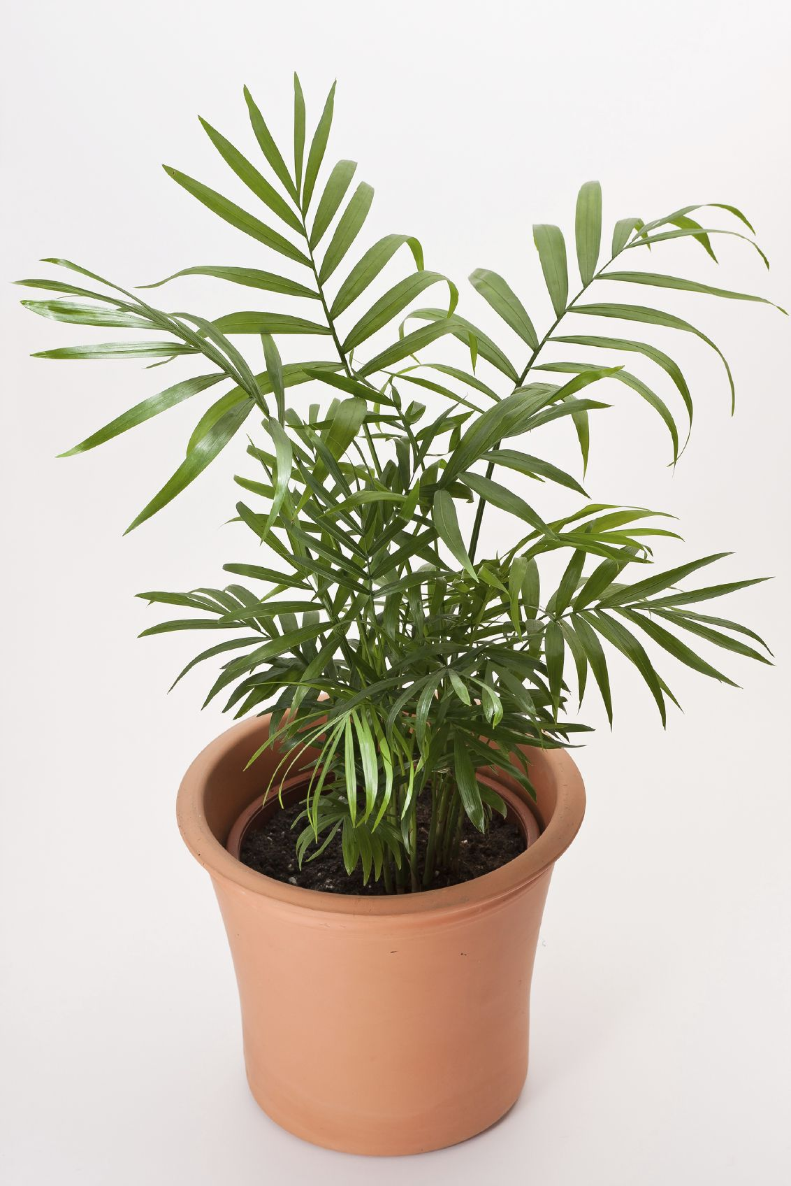 Easy Care Indoor Trees Parlor Palm Houseplant Care Caring For Indoor Parlor