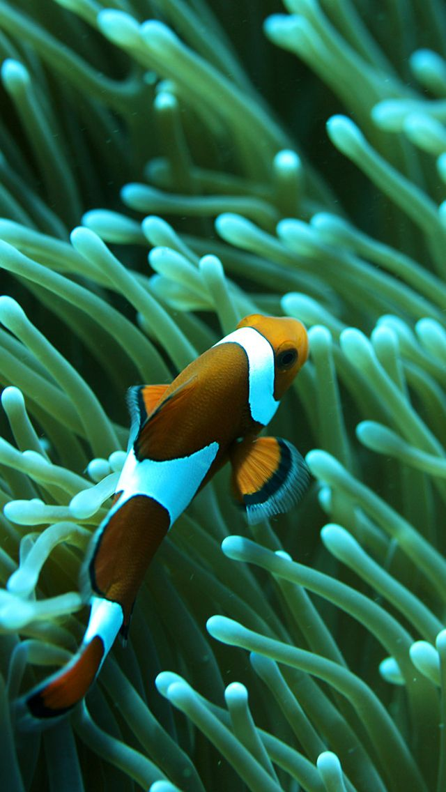Clown Fish Hd Wallpaper Iphone 4 25 Awesome Iphone 5 Wallpapers Nature Phone Wallpapers
